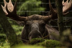 Sneaky moose (Mads S. Hansen) Tags: nikon d7100 70300mm sweden nature natural light forest