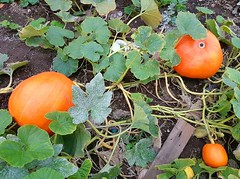 Pumpkins in the pumpkin patch (walneylad) Tags: westlynn lynnvalley northvancouver britishcolumbia canada summer september evening nature pumpkin patch green orange vegetable squash garden plot earth plants leaves soil food autumn