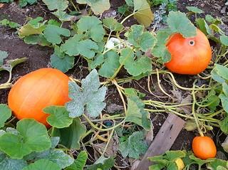 Pumpkins in the pumpkin patch