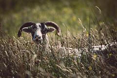 Shy Skye sheep (Channed) Tags: europa europe greatbritain grootbritannië isleofskye schotland scotland scottishhighlands skye unitedkingdom verenigdkoninkrijk dier fauna landscape landschap nature natuur schaap wei weiland zoogdier zoogdieren channedimages chantalnederstigt animal meadow