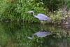 LOOKING FOR A SNACK (Bill Vrtar Photo) Tags: millcreekpark boardman ohio youngstown vrtarsmugmugcom fall lilypond blueheron reflection