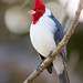 Red-crested Cardinal - Cardeal (Bruno Conjeaud) Tags:
