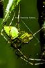 please-notice-the-multi-coloured-silk-thread (prem swaroop) Tags: spider silk protein fiber tensile strength pyriform glands prey argiope argentata lynx web insect catch predator crab spiders oxyopidae hamataliwa prosoma green
