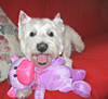 """9/12A ~ Riley - """"Thanks Mom!"""" (ellenc995) Tags: riley westie westhighlandwhiteterrier 12monthsfordogs groomer toy coth alittlebeauty fantasticnature thesunshinegroup coth5 rubyphotographer thegalaxy sunrays5 abigfave challengeclub supershot 100commentgroup"""
