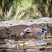 Eurasian Jay with walnut