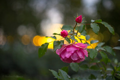 IMG_2119 (Markus Heinonen Photography) Tags: helios 442 m42 kukka flower bokeh puutarha garden hatanpää arboretum hatanpään tampere suomi finland