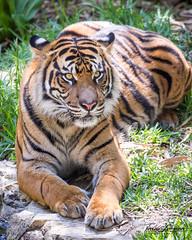 Nelson (ToddLahman) Tags: nelson sandiegozoosafaripark safaripark sumatrantiger male mammal portrait photooftheday profile canon7dmkii canon canon100400 closeup beautiful escondido exhibitc tigers tiger tigertrail teddy joanne
