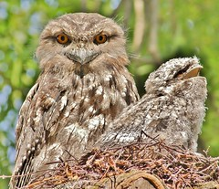 Tawny Frogmouth with baby (oliverred) Tags: frogmouth coth coth5 naturethroughthelens aliittlebeauty