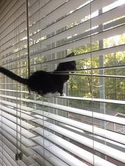 019 (stevenbr549) Tags: cat cute kitten blinds window