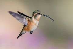 Lucifer's Hummingbird (F) (Eric Gofreed) Tags: arizona ashcanyonbedandbreakfast herefordcounty hummingbird lucifershummingbird