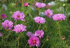 Flowers (LuckyMeyer) Tags: blume blüte flower fleur summer garden pink rosa grün green pflanze