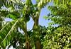 MENARA BANANAS (Honevo) Tags: menara bananas honevo hönevo morocco marruecos