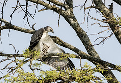 Juvenile Martial Eagle Resting in Tree with Wing Extended??? Is this Correct Eagle? (John Hallam Images) Tags: african tree wing spread masai mara masaimara kenya juvenile martial eagle juvenilemartialeagle martialeagle