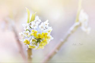 Paper Bush Flower