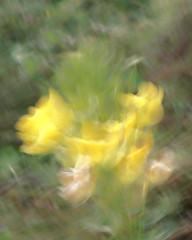 Windy Day (A. Bockheim) Tags: flower yellow d7100 impressionism