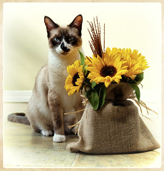Bella and daisies (marneejill) Tags: bella snowshoe siamese cat daisies yellow portrait