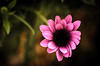 Negro corazon (Kuboimagen) Tags: rosa bokeh d5100 desenfoque flor flores garden jardin nikon luz naturaleza sigma