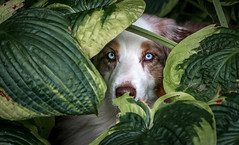 39-52 Della - Hiding In Plain Sight (janecumming33) Tags: 52weeksfordogs australianshepherds aussies dogs pets plants outside