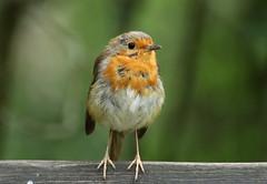 Fluffed Robin at Stover Park. (ronalddavey80) Tags: male robin bird canon eos70d stover