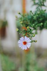 (Simona Svalina) Tags: flower flowers nature garden beautiful ph photography nikon d7200