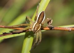 Arachtober 01 - Dolomedes fimbriatus (Raft spider) (Anne Richardson) Tags: arachnid arachtober spider dolomedesfimbriatus raftspider nature wildlife macro macrophotography dunyeats