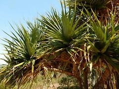 105_Perth_017_20151104_DSCN3474.jpg (urma2004) Tags: diashow länder australien bestimmen erlnichtweb flora kingspark westernaustralia