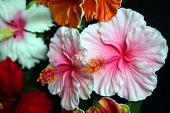 170804 Hibiscus for Mililani, Honolulu, Hawaii (Christian Chene Tahiti) Tags: canon 6d honolulu hawaii oahu hibiscus fleur flore flower pona waikikibeach blanc waikiki artificiel fleurartificielle vert rose bleu jaune orangé extérieur aloha couleur color rouge orange
