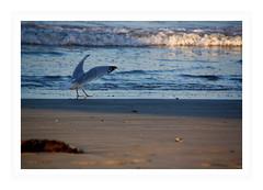 Quelques pas de danse pour vous plaire . . .SoS (nickylechatreux) Tags: vague océan oiseau vol featheredfriends smileonsaturday