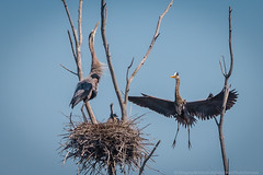 _I9A7247 (Greggor58) Tags: nature birds flight heron rookery