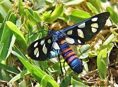 Wasp Moth - Amata alicia (Oldt1mer - Keith) Tags: waspmoth wasp moth colour color wings spotted amataalicia erebidae body orange red blue black morocco agadir legs macro platinumheartaward