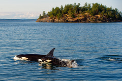 Orca Pod (ferglandfoto) Tags: nd45483 orca orcas ocean orcinusorca transientorca transientkillerwhale transientorcapod transientorcas killerwhale killerwhales islandadventures islandexplorer5 island whale whales whalewatching whalephotography wildlife wildlifepic wildlifephotography nature naturepicture naturepic natureshot naturephotography