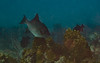 0B7A2994-Edit-Edit.jpg (aboulenein) Tags: windsock oceantriggerfish thelake bonaire uw