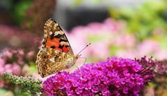Distelfalter [Explored Aug 6, 2017] (G_E_R_D) Tags: butterfly schmetterling papillon distelfalter vanessacardui paintedlady distelvlinder flieder lilac grüeässlismaya