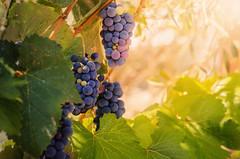 Grapes from Corfu (Pásztor András) Tags: nature grapes sunset sun light greece corfu leafs mood calmness sigma 70300mm dslr nikon d5100 hungary andras pasztor photography 2017