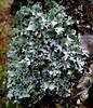 Hypotrachyna laevigata (davidgenneygroups) Tags: uk scotland lichen hypotrachynalaevigata hypotrachyna laevigata foliose corticolous