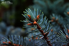 Baby Pine Cones (Hi-Fi Fotos) Tags: pine evergreen conifer cone tree branch bud bloom seed green forest fresh nature potpourri needles macro nikkor 40mm micro nikon d7200 dx hififotos hallewell