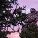Hawk at Sunrise - Alaska