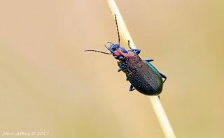 Carabidae beetle (Thanks to Boris for poss ID of Poecilus versicolor)