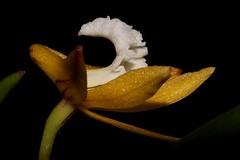 Dendrobium striolatum (andreas lambrianides) Tags: dendrobiumstriolatum orchidaceae dockrilliastriolata streakedrockorchid australianflora australiannativeplants australianrainforests australianrainforestplants australiannativeorchids australianrainforestorchids wildflowers arfflowers yellowarfflowers arfp nswrfp vicrfp tasrfp