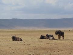 DSC00431 (francy_lioness) Tags: safari jeep animals animali ippopotami leone savana gnu elefante iena pumba tanzaniasafari ngorongorocratere gazzella antilope leonessa lioness facocero