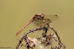 Common Darter (Explored) (Georgiegirl2015) Tags: wildlife invertebrates insect commondarter canon countryside coastal wales woodlands reeds cosmeston valeofglamorgan water ef300mm