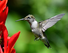 Hummingbird (KoolPix) Tags: hummingbird rubythroatedhummingbird bird beak feathers wings bif birdinflight flight flying koolpix jaykoolpix naturephotography nature wildlife wildlifephotos naturephotos naturephotographer animalphotographer wcswebsite nationalgeographic fantasticnature amazingnature wonderfulbirdphotos animal amazingwildlifephotos fantasticnaturephotos incrediblenature naturephotographywildlifephotography wildlifephotographer mothernature