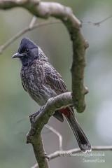 Red-vented bulbul (Pycnonotus cafer) (Desmond Lobo) Tags: songbird bulbul nature wildlife backyardbirds commonbirds passerines birds aves pycnonotuscafer redventedbulbul