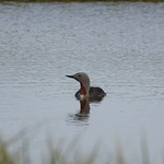 Gavia stellata - Colimbo chico - red-throated loon / diver thumbnail