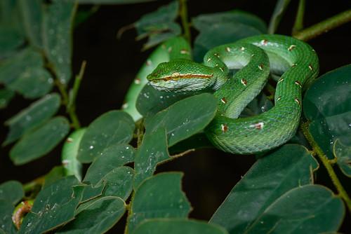 Tropidolaemus wagleri, Wagler's pit viper (male) - Khao Sok National Park