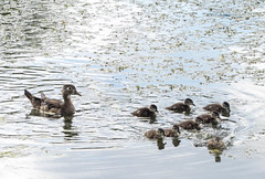 Wood duck and chicks,l High Park, Toronto (Ivor-In-Toronto) Tags: