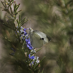 the background flutters when the moth is still (MyArtistSoul) Tags: whitecabbagemoth insect rosemary flowers backyard garden strangeflutteringbackground dualpanedistortion oxnardca outdoors urban square 1162