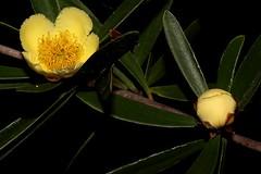 Neofabricia myrtifolia (andreas lambrianides) Tags: neofabriciamyrtifolia myrtaceae fabriciamyrtifolia australianflora australiannativeplants australianrainforests australianrainforestplants arfflowers yellowarfflowers arfp qrfp cyrfp marginalarf