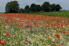 Mohnfeld (Sockenhummel) Tags: landstrasse mohn urlaub mohnblüten getreide getreidefeld sommer klatschmohn poppies blumen blüten mecklenburg fuji x30 fujifilm finepix fujix30