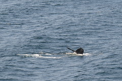 Whale diving, Alaska (Karlov1) Tags: whale
